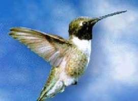 [img]http://www.paraguay-online.net/paraguay-bilder/kolibri.jpg[/img]